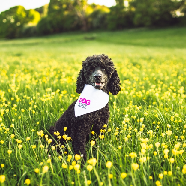 sillytillypoodle_DogFestSouth-2-2