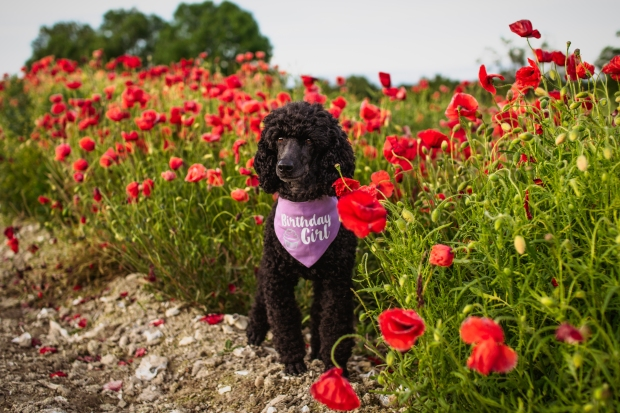 tilly_poppies